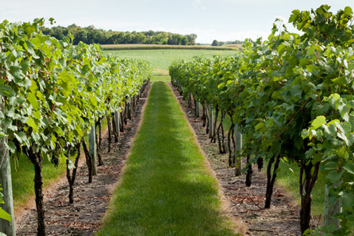 Is it Possible to Have Your Own Vineyard?